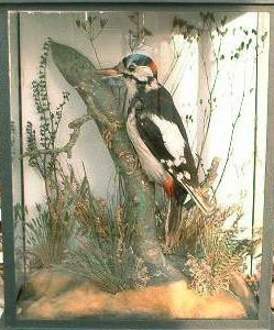 Greater Spotted Woodpecker (Cole)[1].JPG